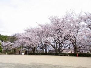 20110408 寺ヶ池公園 満開のサクラ