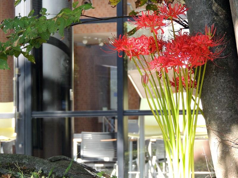 中庭に咲く彼岸花